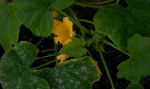 More squash flowers in our Earthbox