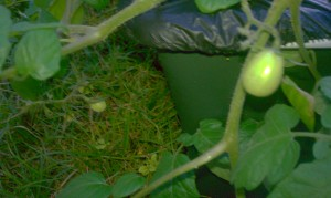 Three tomatoes on our Earthbox
